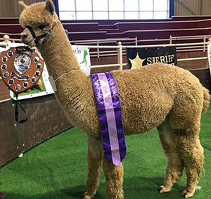 One of Steve's prize-winning alpacas, who's also wearing regalia!